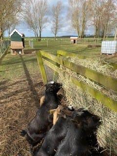 De geitjes eten op Zorgboerderij Boerewille in Friesland